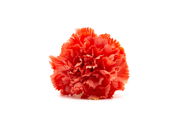 clavel coral